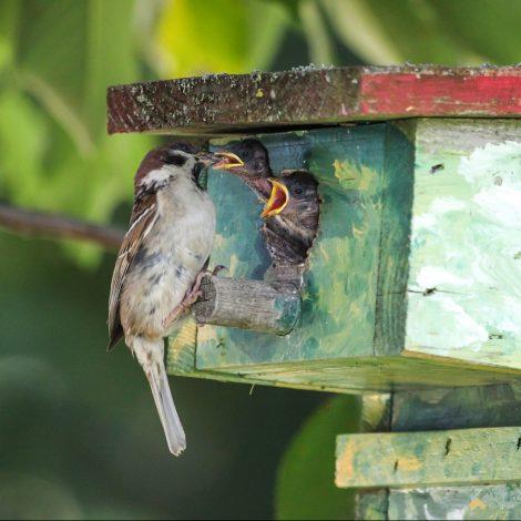 Vogelhuisje met mus die jong voert