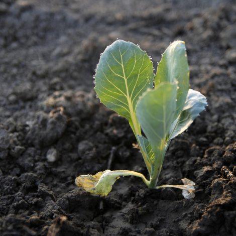 Groenteplantjes uitplanten