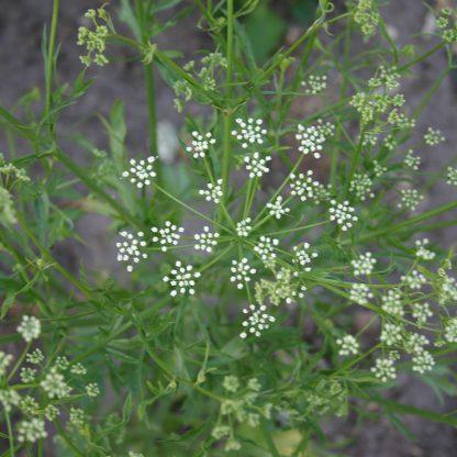 Bolster-3015-Anijs-Pimpinella-anisum