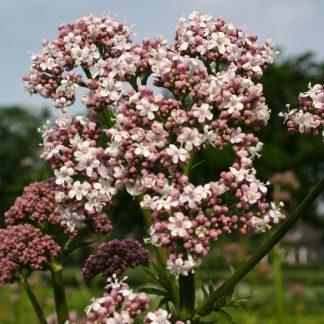 Bolster-7980-Valeriaan-Valeriana-officinalis