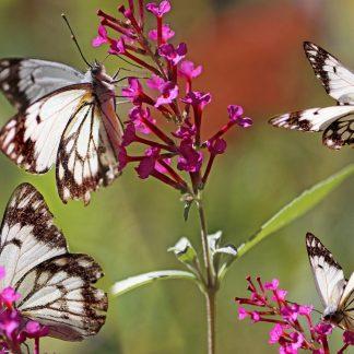 Vlinder bloemen